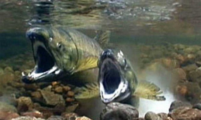 Рыбаки Сахалина и Курил продолжают добывать осеннюю кету